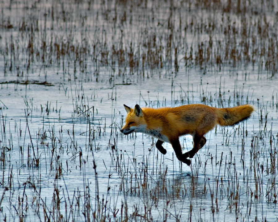 Seriously?! You think this red fox has mystical powers and is floating across a marsh?