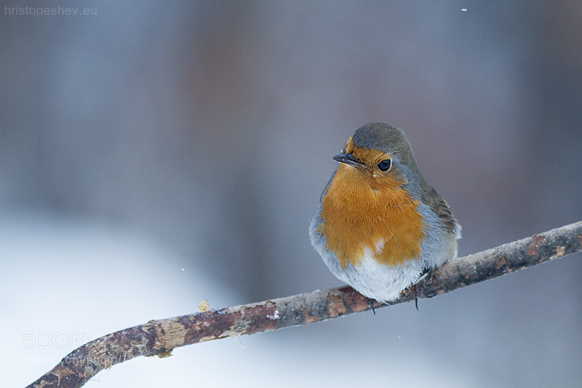 Photograph robin by Hristo Peshev on 500px