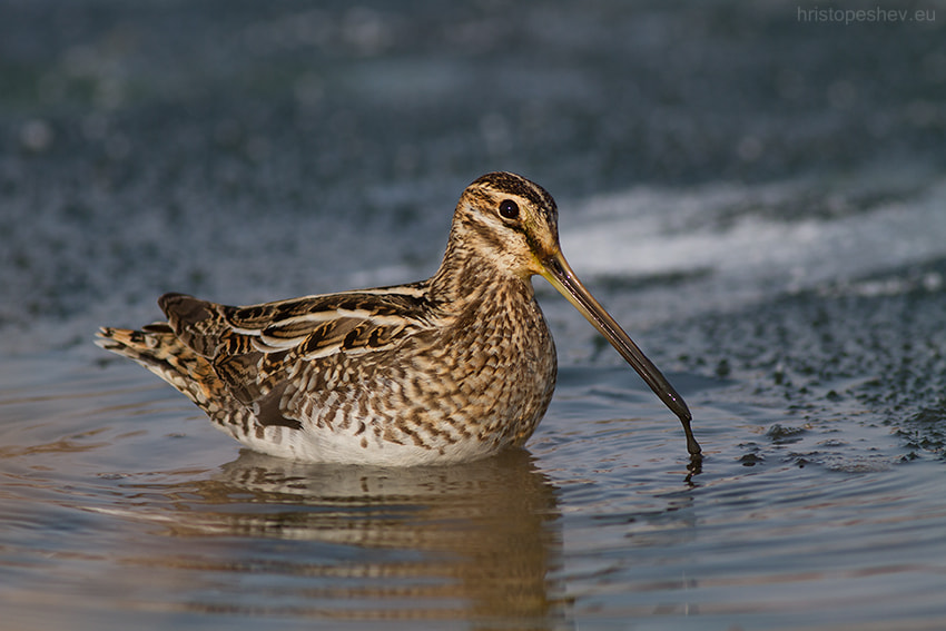 Photograph Common Snipe by Hristo Peshev on 500px