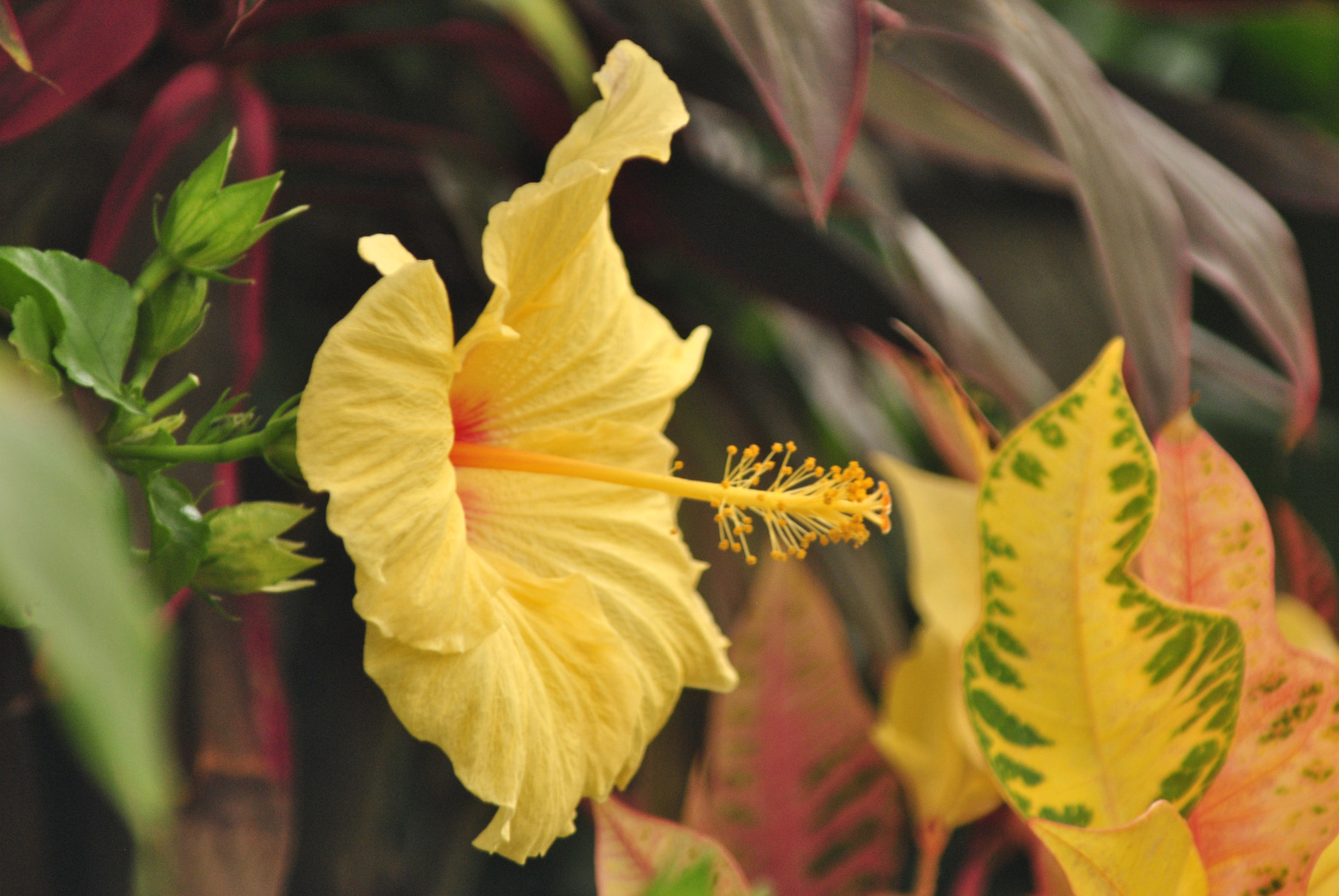 Photograph Hibiscus in the Greenhouse  by Ruth Spicer on 500px