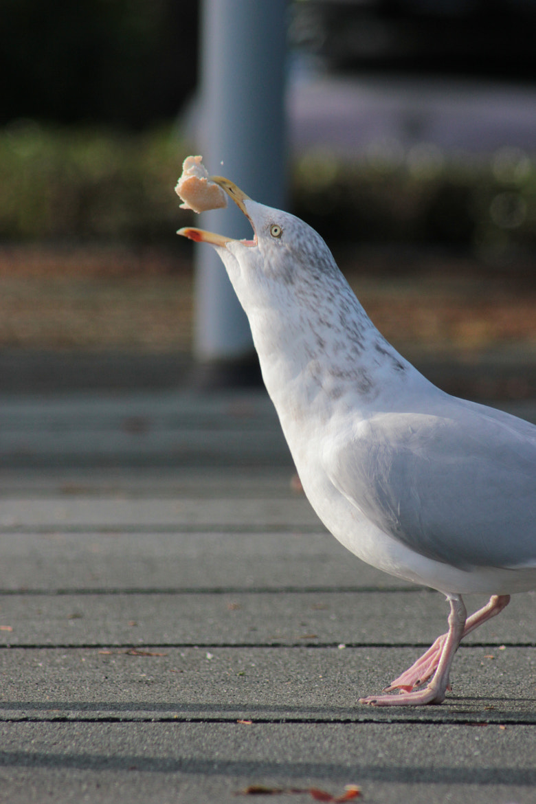 Photograph Seagull - Catching His Food by Maria Lewis on 500px