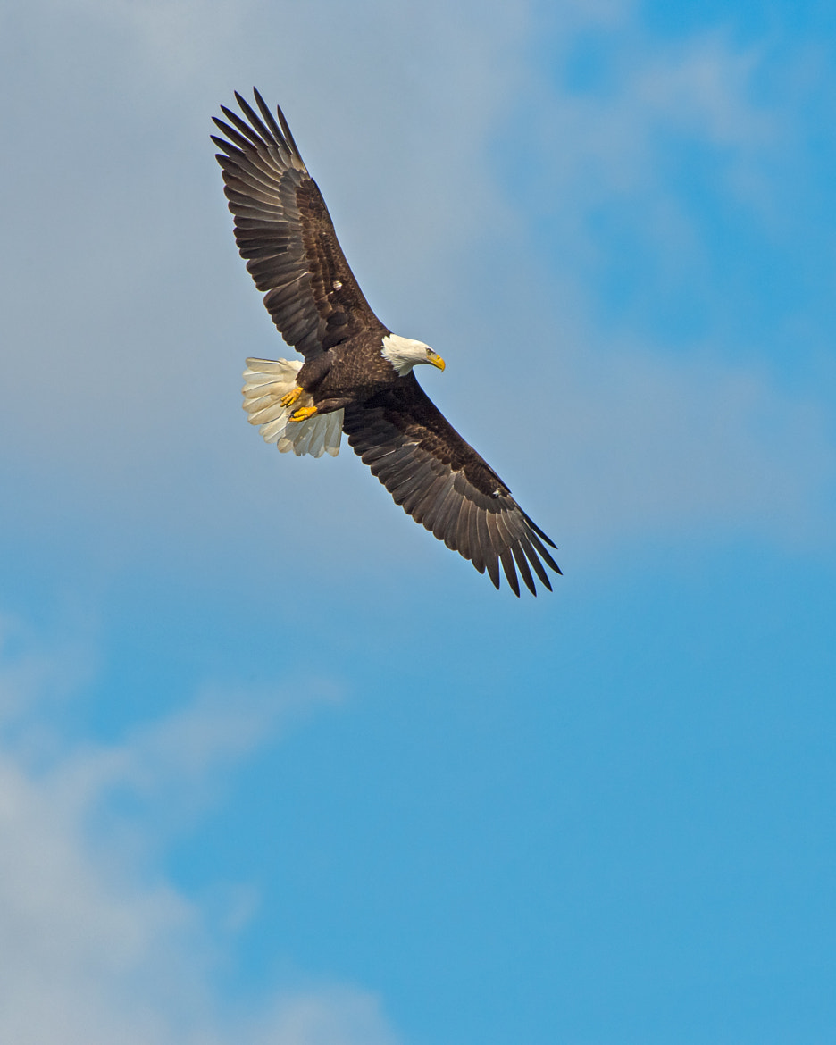 Photograph Bald Eagle by Steven Kersting on 500px