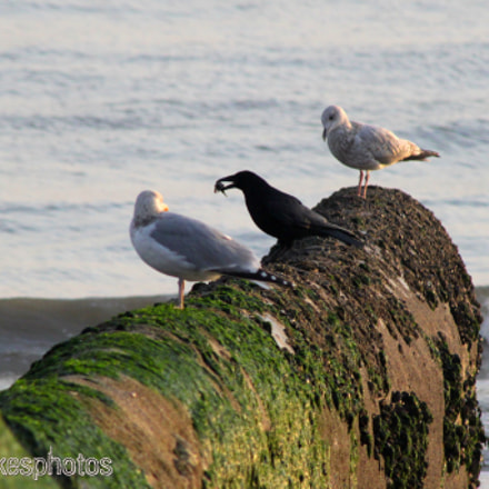 Two seagulls and a, Canon EOS 500D, Canon EF 100-300mm f/4.5-5.6 USM