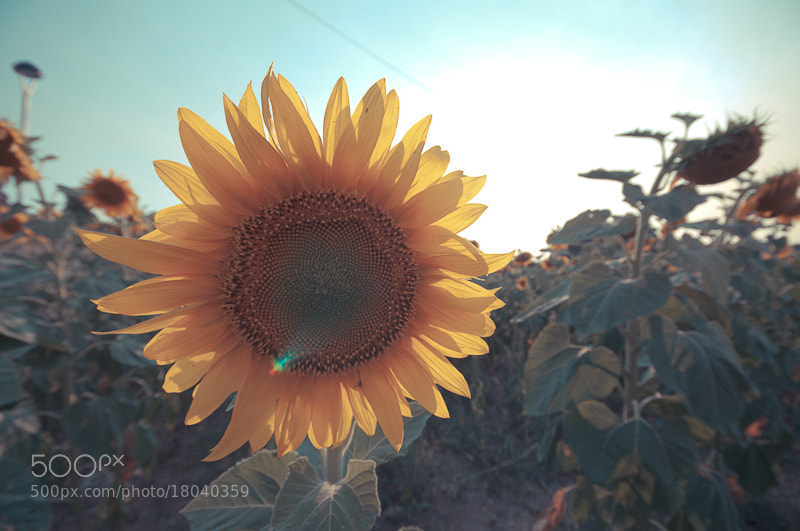 Photograph Sunflower by Àngel  on 500px