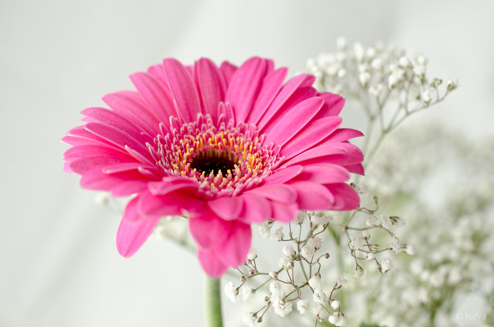 Photograph Pink gerbera by Ninnie B on 500px