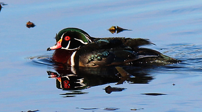Photograph Wood duck by Kelly Lenihan on 500px