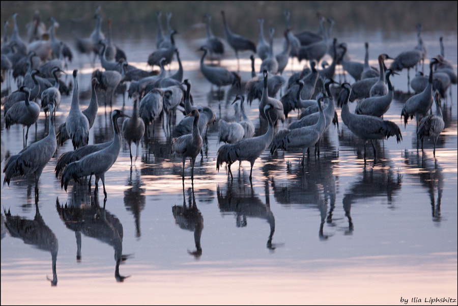 morning cranes