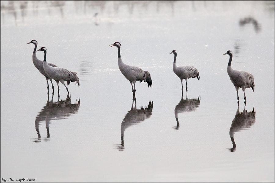 Morning cranes №3