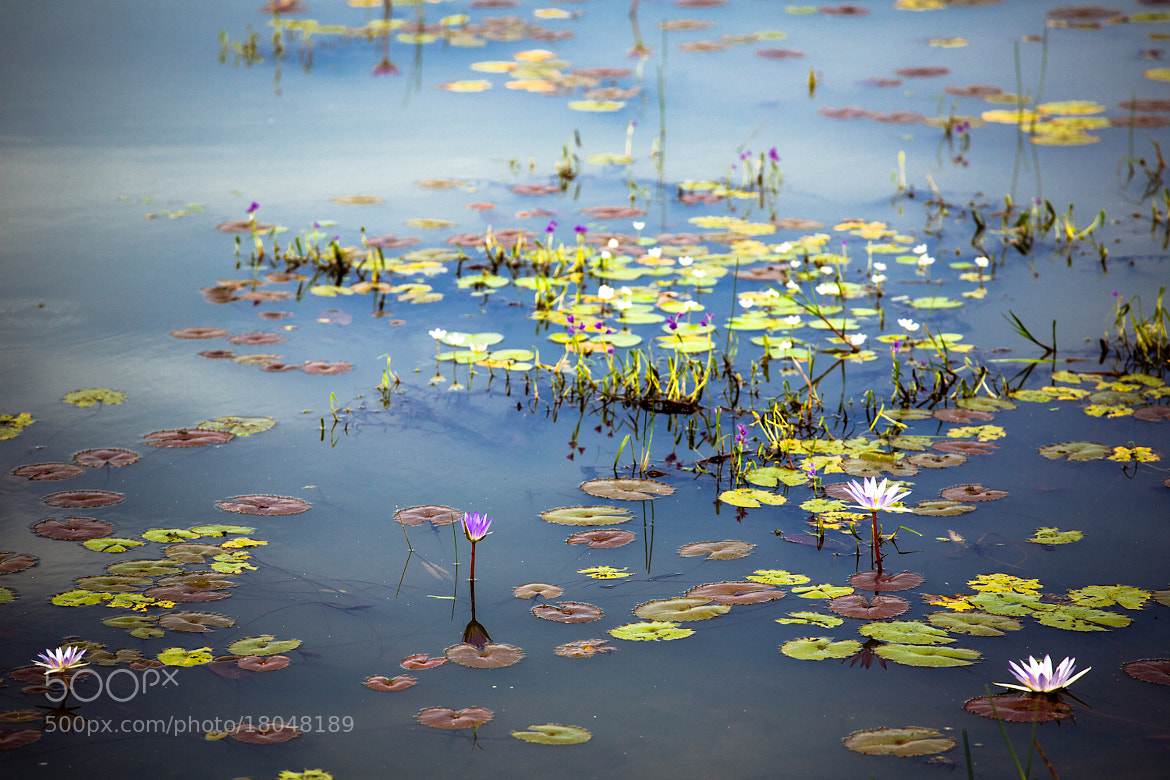 Photograph Water Lilies in Cambodia by Nicole S. Young on 500px