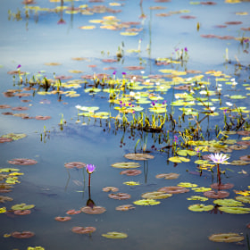Water Lilies in Cambodia by Nicole S. Young (nicolesy)) on 500px.com