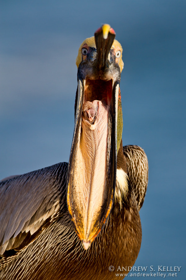 """Photograph Pelican """"Yawn by Andrew Kelley on 500px"""