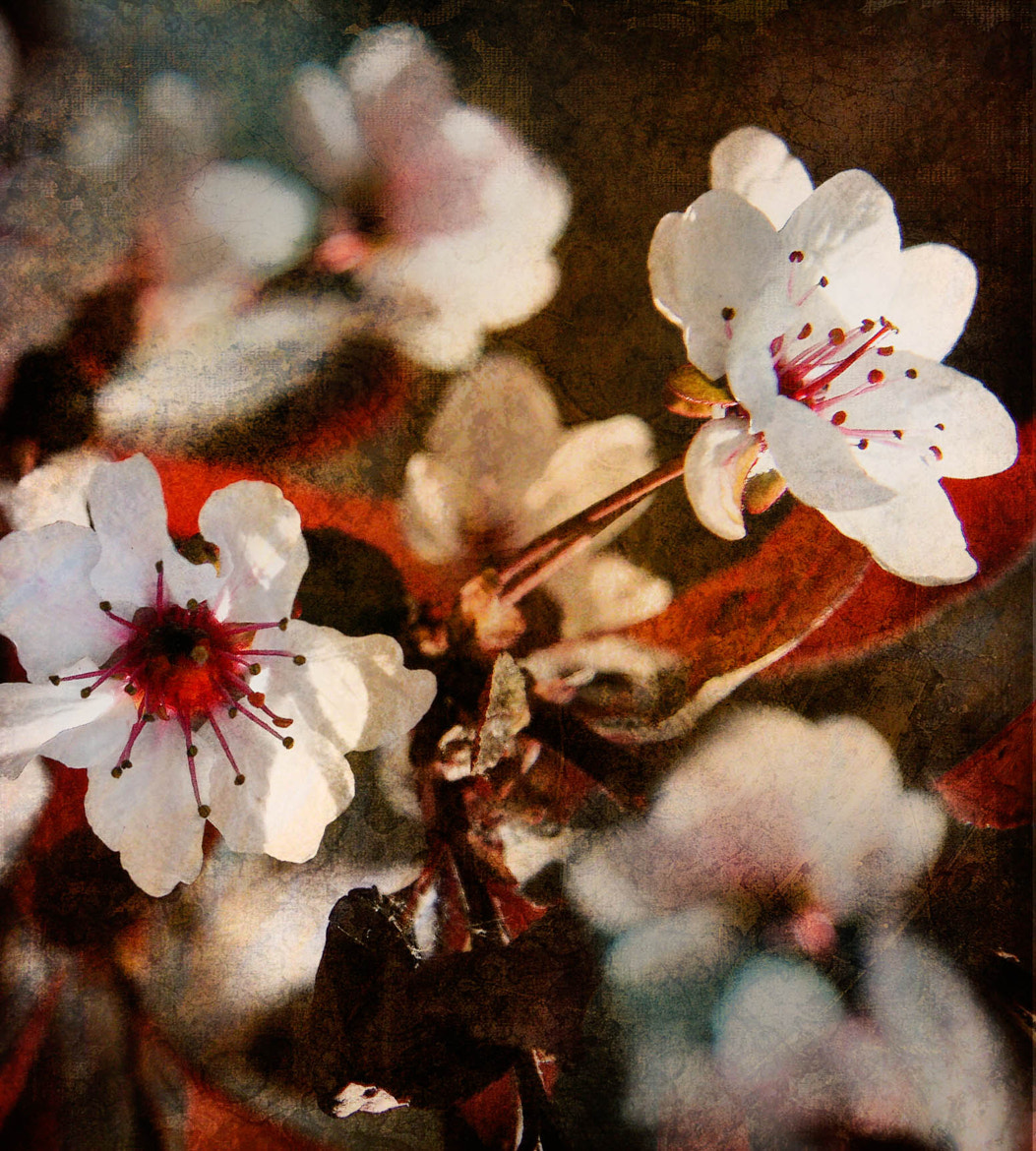Photograph Sand Cherry by Dave Thurau on 500px