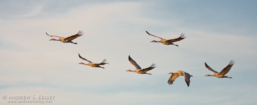 Photograph Sandhilll Cranes by Andrew Kelley on 500px