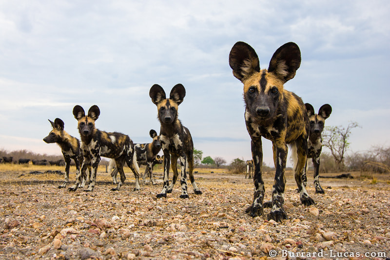 Photograph African Wild Dogs by Will Burrard-Lucas on 500px