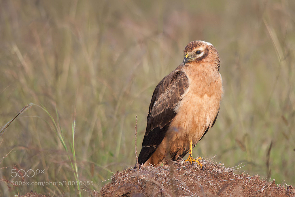 Photograph Montagu's Harrier - Female by Girish Prahalad on 500px