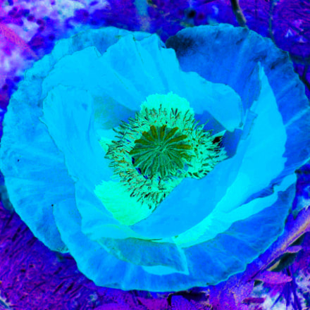 Mohn - poppy, Panasonic DMC-FX7