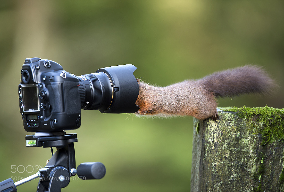Photograph Red Squirrel by Mike Killy on 500px