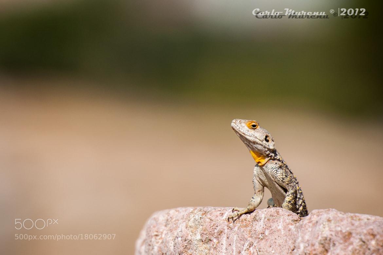 Photograph Desert lizard by Carlo Murenu on 500px