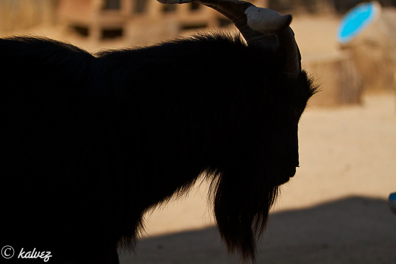 Photograph bearded goat by Carlos Alves on 500px