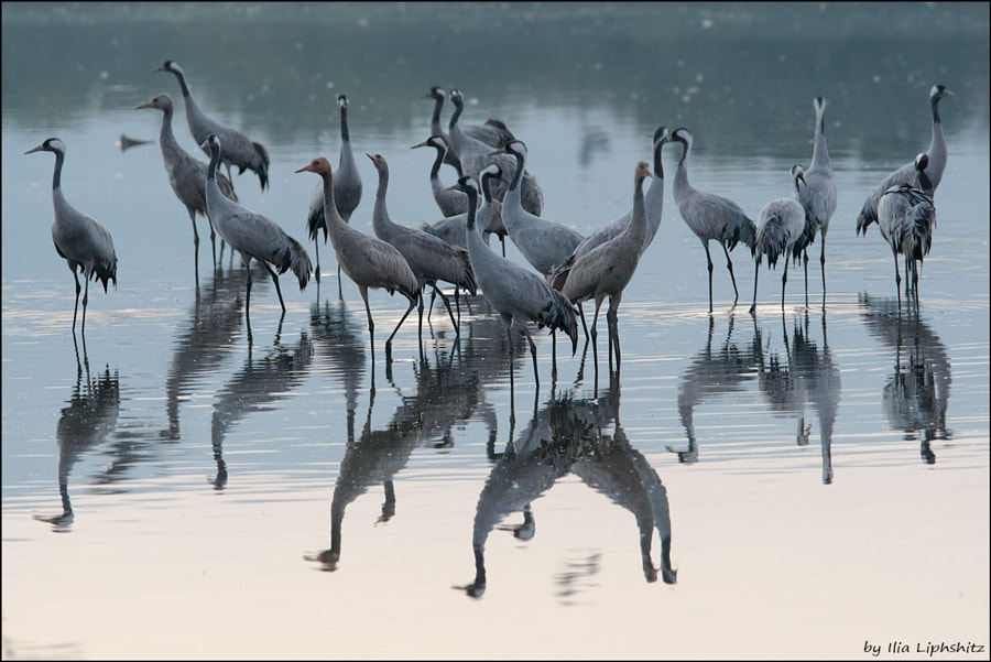 Morning cranes №6