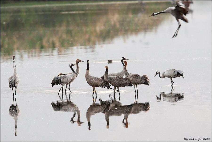 Morning cranes №9 - landing