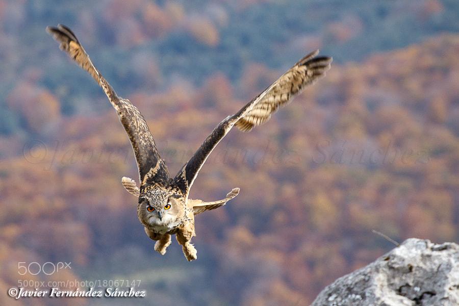 Photograph Owl flying by Javier Fernández Sánchez on 500px