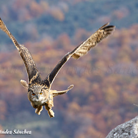 Owl flying by Javier Fernández Sánchez (JFS)) on 500px.com