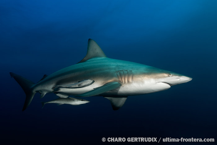 Photograph Blacktips oceanic. by Charo Gertrudix on 500px