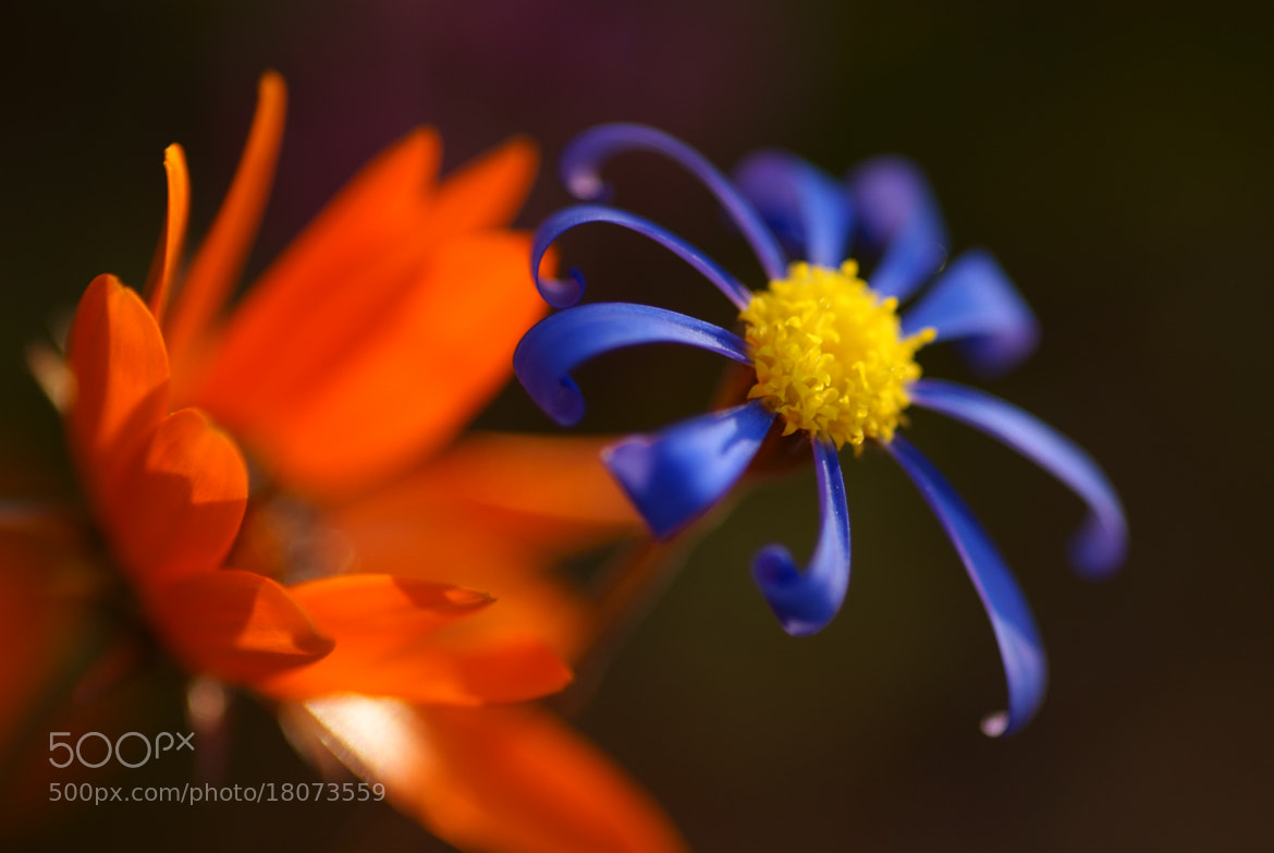 Photograph Namaqualand Daisy and Felicia macro by Lillian Arnold on 500px