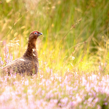 Red Grouse bathed in, Olympus E-M5MarkII, SIGMA 50-500mm F4-6.3 DG HSM