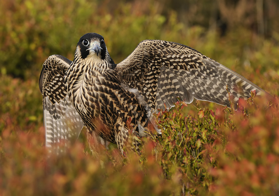 Shot of this wonderful Peregrine Falcon taken  at a hillside with wonderful colorful vegetation  in England on a sunny day last Autumn.   Best regards, Harry