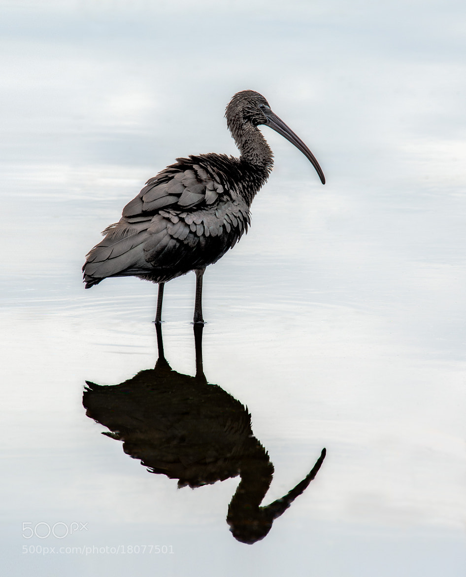 Photograph Glossy Ibis Reflection by SharpShooterIndustries on 500px