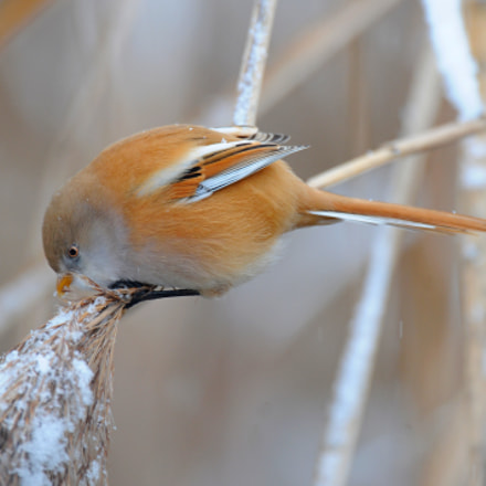 Bearded reedling, Nikon D300, AF-S Nikkor 600mm f/4D IF-ED