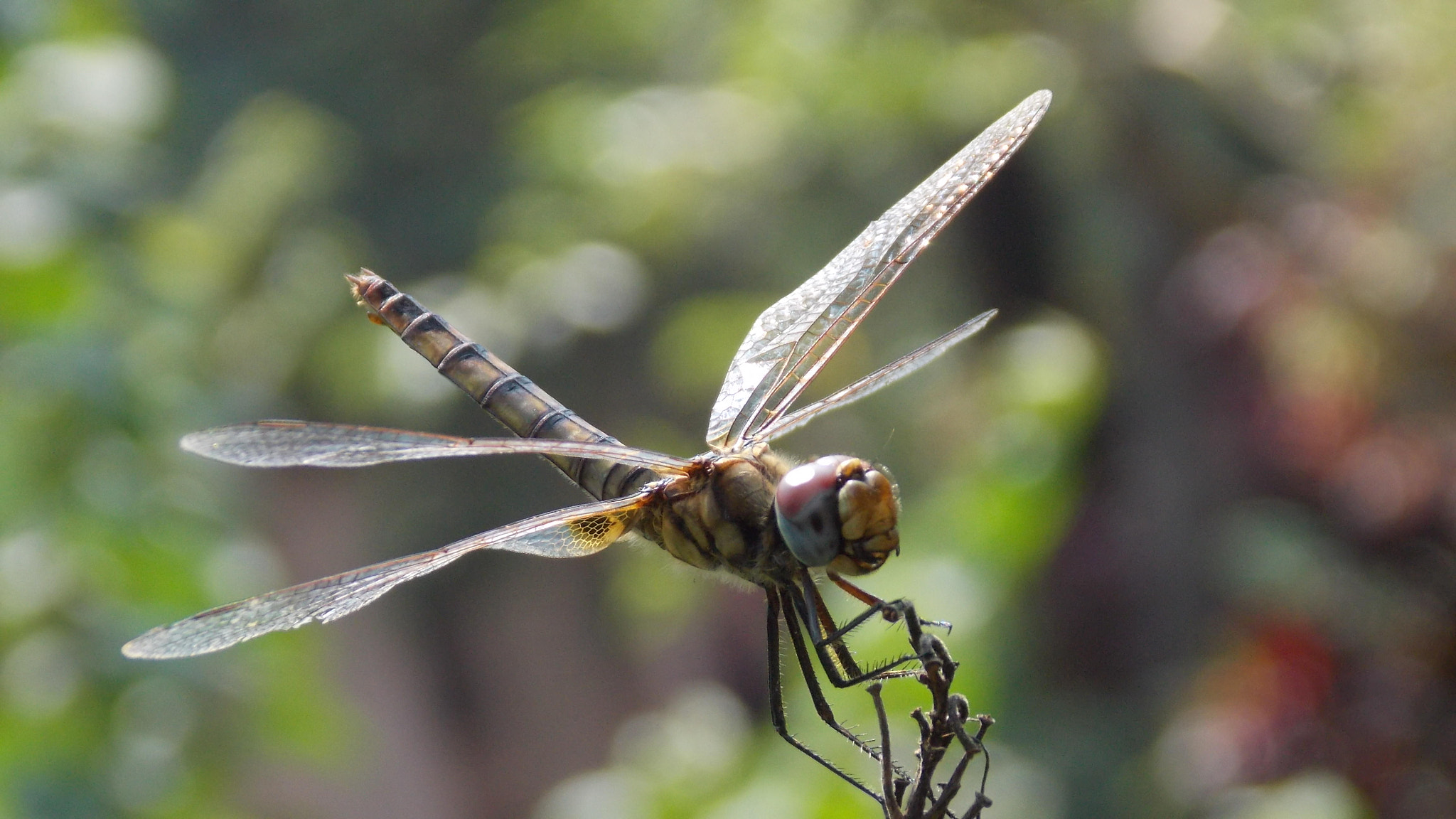 Photograph Dragonfly by Ajaz Hameed on 500px