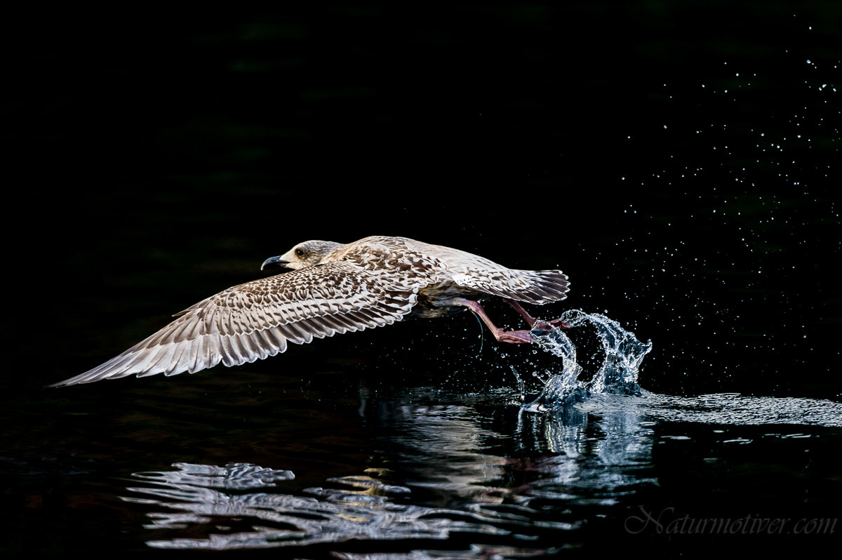 Photograph Seagull action photo. by Geir Magne  Sætre on 500px