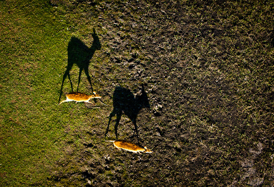 Photograph Red Lechwe Shadows by ryan green on 500px