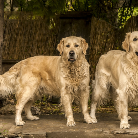 Two goldens, Canon EOS 400D DIGITAL, Canon EF 100-300mm f/4.5-5.6 USM