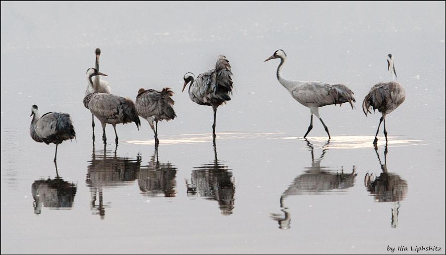 Morning cranes №10