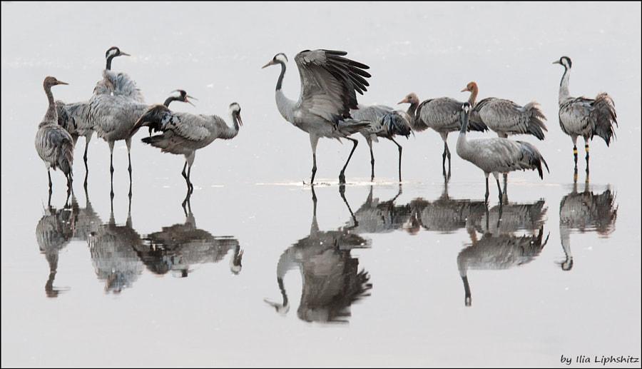 Morning cranes №12