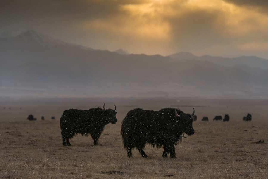 Yaks in a snowstorm