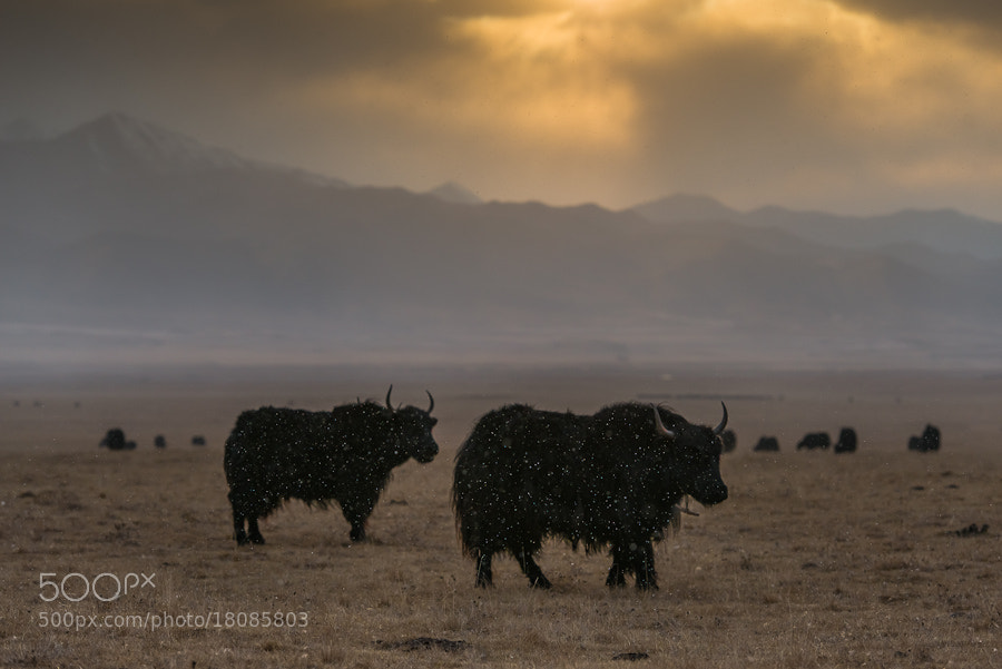 Photograph Yaks in a snowstorm by Evgeny Tchebotarev on 500px