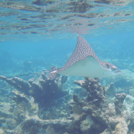 Spotted Eagle Ray, Nikon COOLPIX AW130