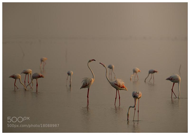 Photograph Flamingos,in Dawn by nara simhan on 500px