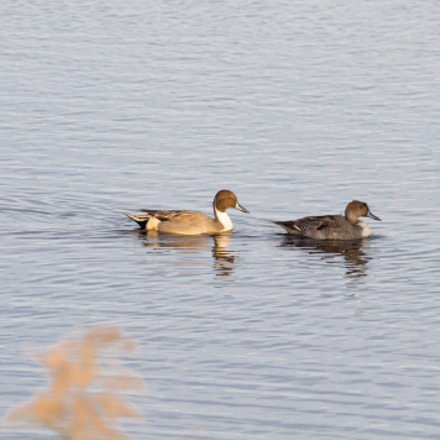Northern Pintails, Canon EOS REBEL T3, Canon EF 100-400mm f/4.5-5.6L IS
