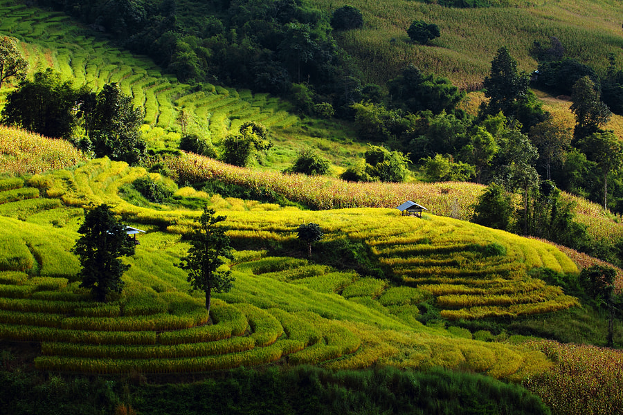 Photograph Rice Field by Bank Charoensook on 500px