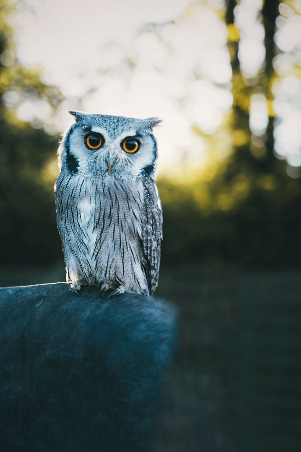 white-faced owl by Patrick Monatsberger on 500px.com