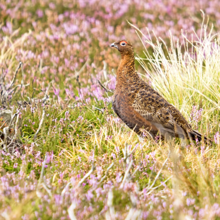 Red Grouse V, Olympus E-M5MarkII, SIGMA 50-500mm F4-6.3 DG HSM
