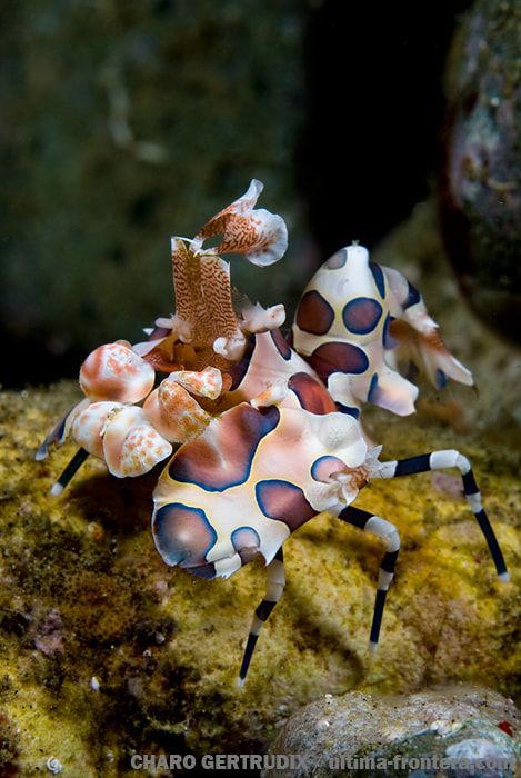 Photograph Harlequin shrimp by Charo Gertrudix on 500px