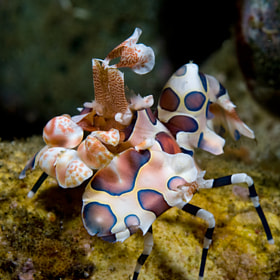 Harlequin shrimp by Charo Gertrudix (CharoGertrudix)) on 500px.com