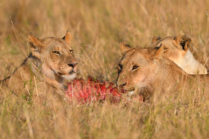 Lions on a kill